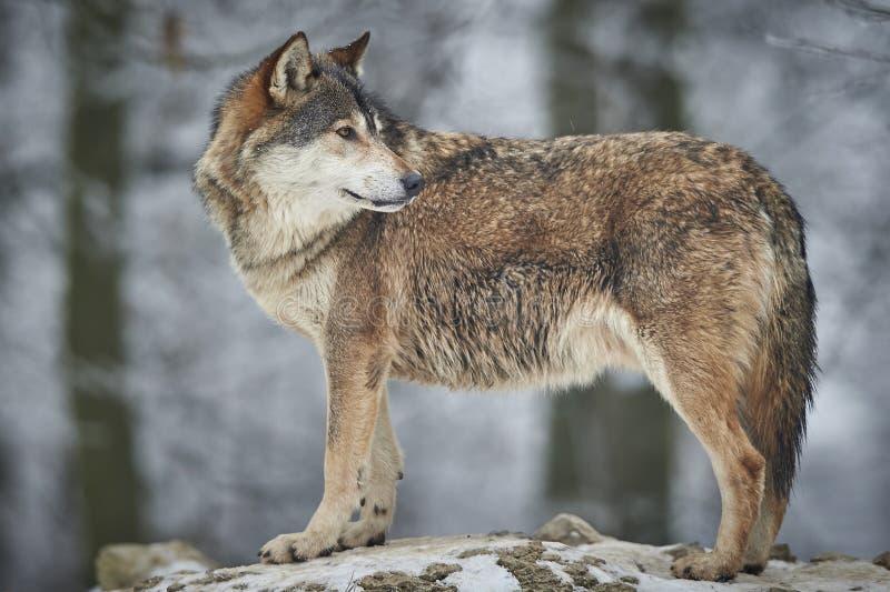 Wilk w zimie zdjęcie royalty free