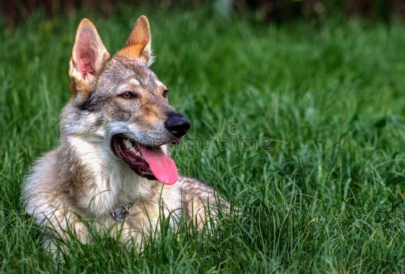 Wilka pies obrazy royalty free