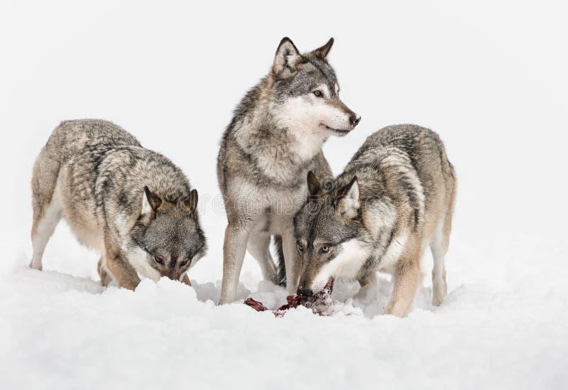 wilki zdjęcie stock