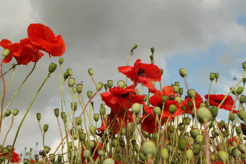 We will remember them. Red wild poppies against a cloudy sky stock photos