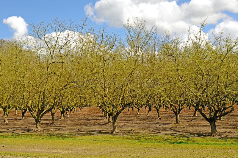 Willamette Filberts. Large filbert or hazelneut orchard in early spring in the Willamette Valley in Oregon royalty free stock image