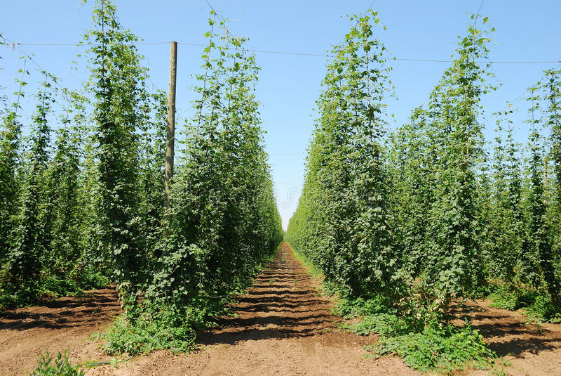 Download Willamette Hops stock image. Image of grain, ingredient - 24567219
