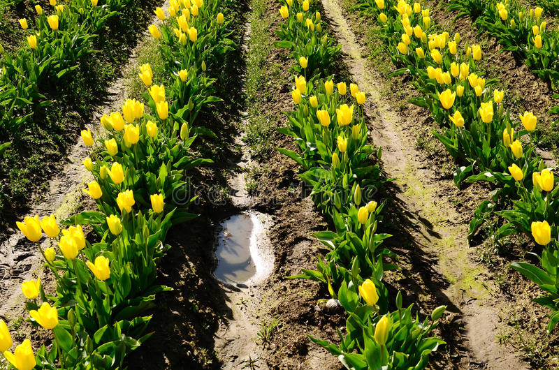 Willamette Tulips. Large field of commercial tulips in the Willamette Valley of Oregon stock images