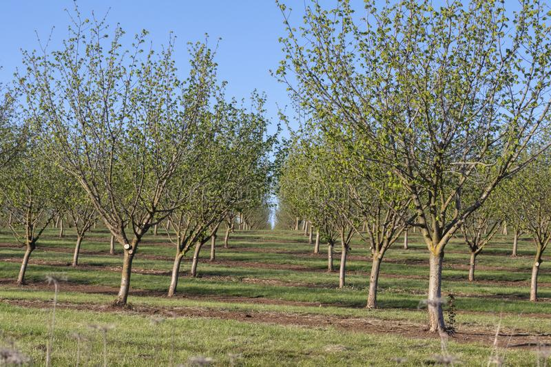 Willamette Valley Hazelnut Orchard near Salem, Oregon. Hazelnut trees leaf out on a sunny, spring day in an orchard east of Salem in the Willamette Valley of royalty free stock photography