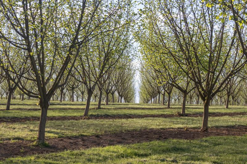 Willamette Valley Hazelnut Orchard near Salem, Oregon. Hazelnut trees leaf out on a sunny, spring day in an orchard east of Salem in the Willamette Valley of stock photo
