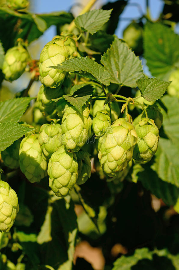 Willamette Valley Oregon hops. Just before being harvested stock images