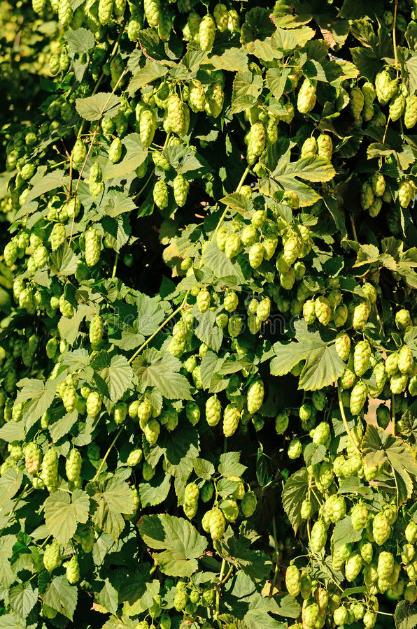 Willamette Valley Oregon hops. Just before being harvested stock photos