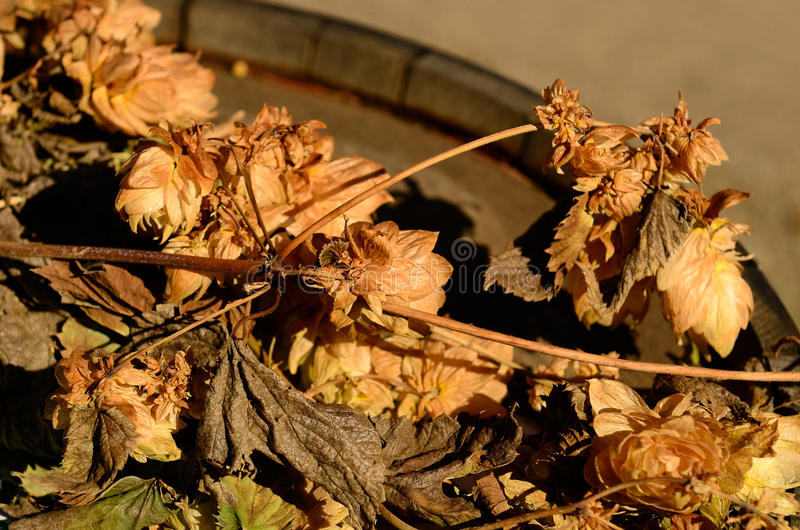 Willamette Valley Oregon hops. Just before being harvested stock photo
