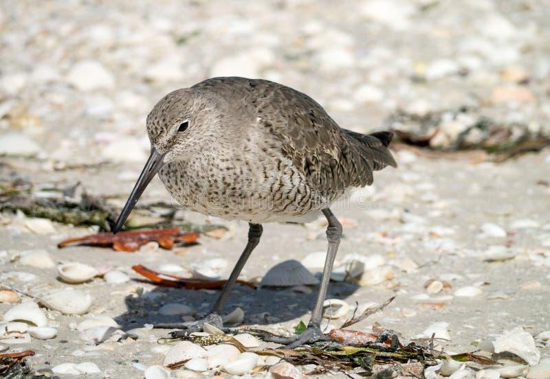 willet берега florida птицы стоковое фото