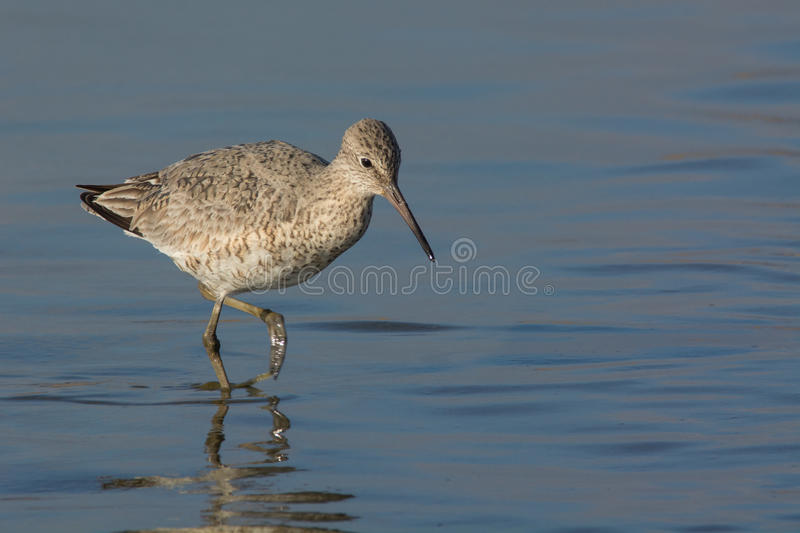 Download Willet image stock. Image du aile, charadriidé, faune - 45362253