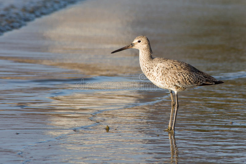 Download Willet image stock. Image du migrateur, ressort, outdoors - 45362283
