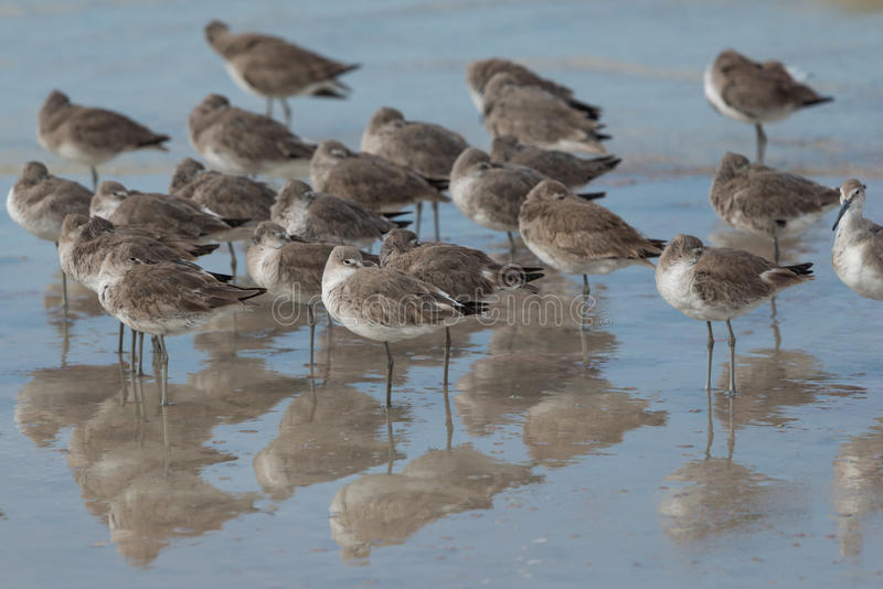 Willet foto de stock royalty free
