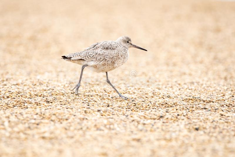 Willet stock image