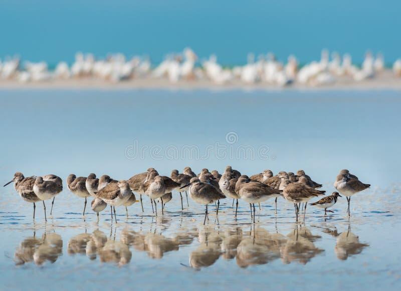 Willet fåglar av Florida arkivfoto