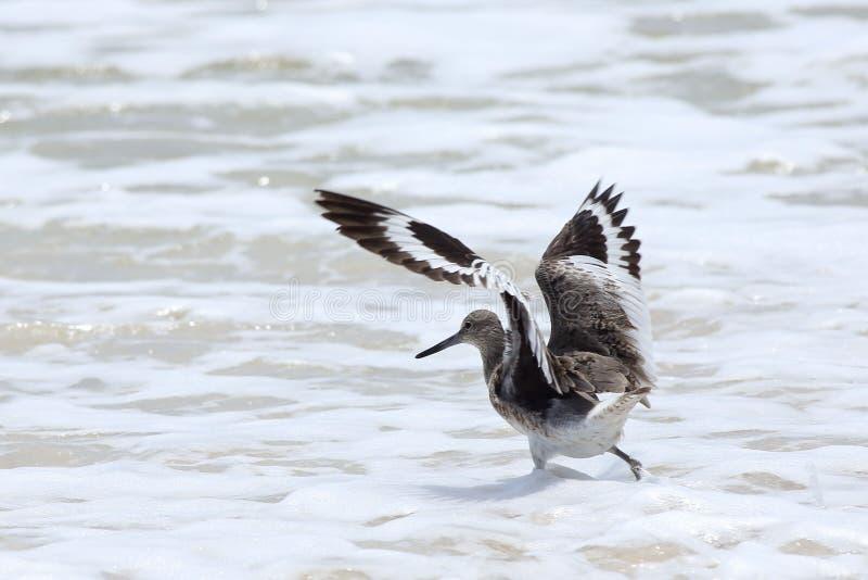 Willet forageant dans le ressac avec des ailes s'est prolongé photographie stock libre de droits