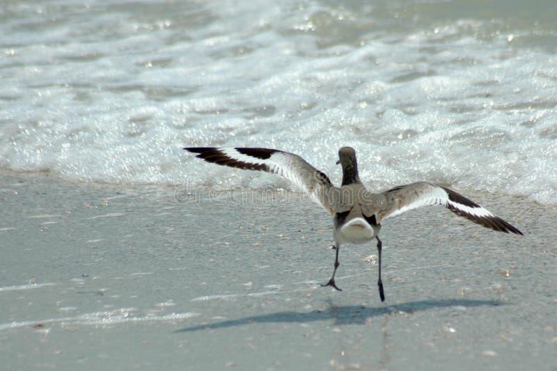 Download Willet landing stock photo. Image of wildlife, oceanside - 177618