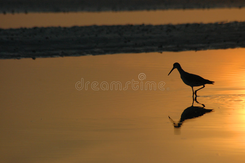 Download Willet In Reflecting Wading Pool Stock Photo - Image: 178240