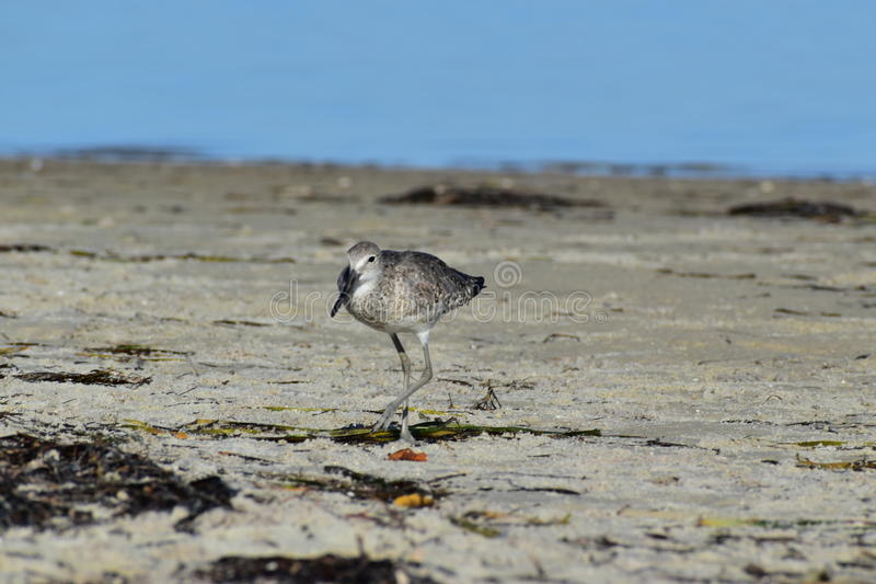 Willet Sandpiper On The Beach stock photo