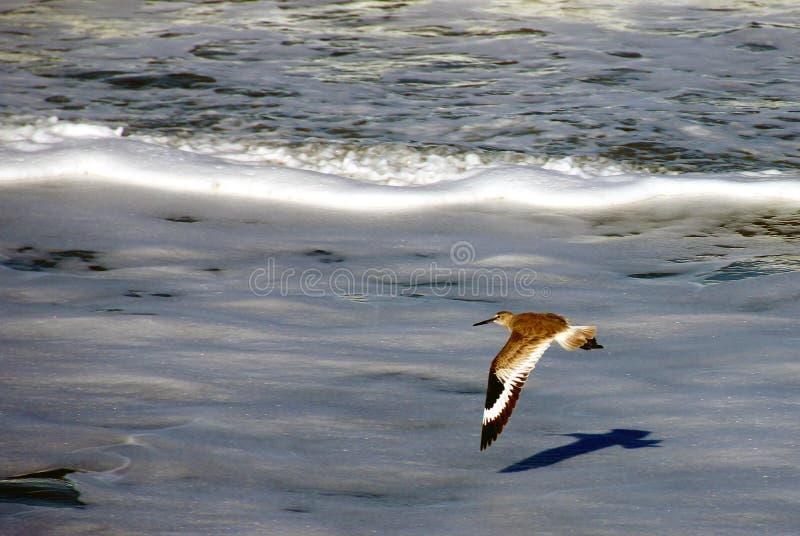 Willet som flyger över den Florida stranden fotografering för bildbyråer