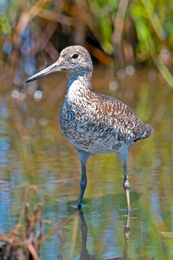 Download Willet Standing in Water stock photo. Image of water - 25472276