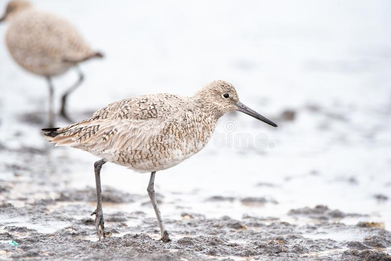 Willet lizenzfreie stockfotos