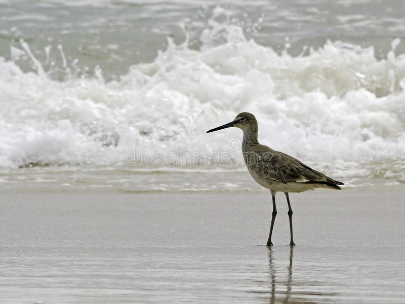A Willet (type Of Sandpiper) Wades Ocean Surf Royalty Free Stock Images