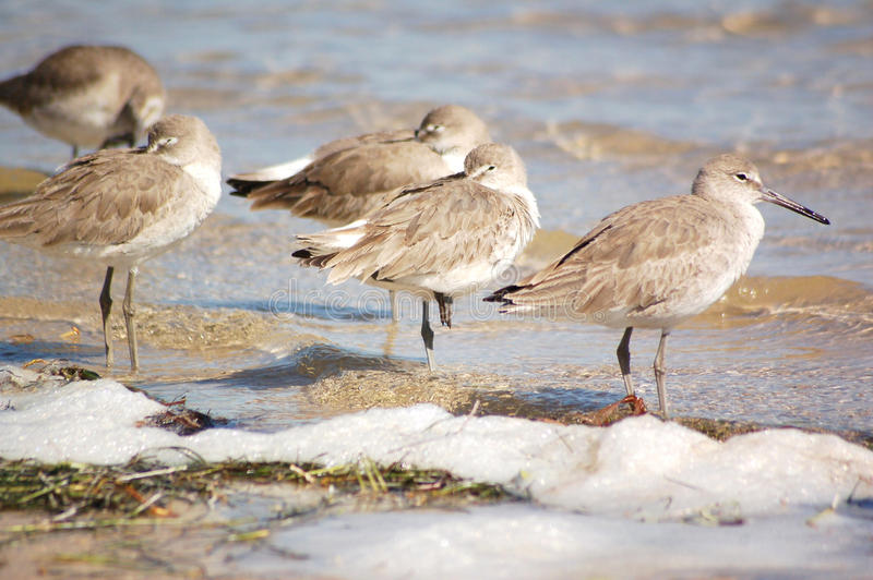 Willets on the Beach royalty free stock image