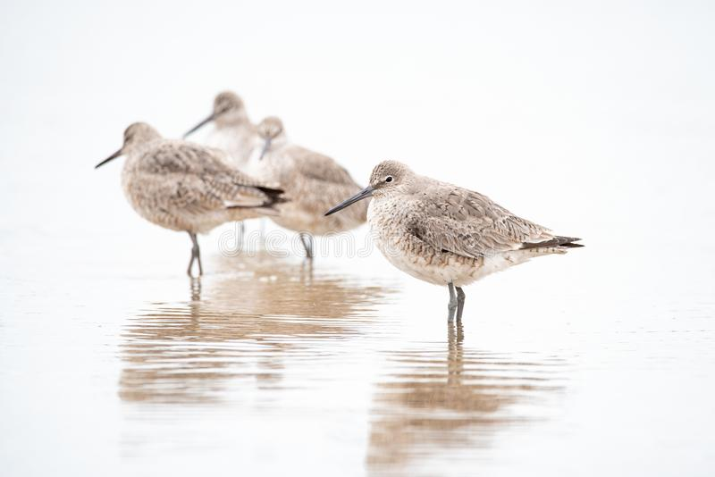 Willets stock image