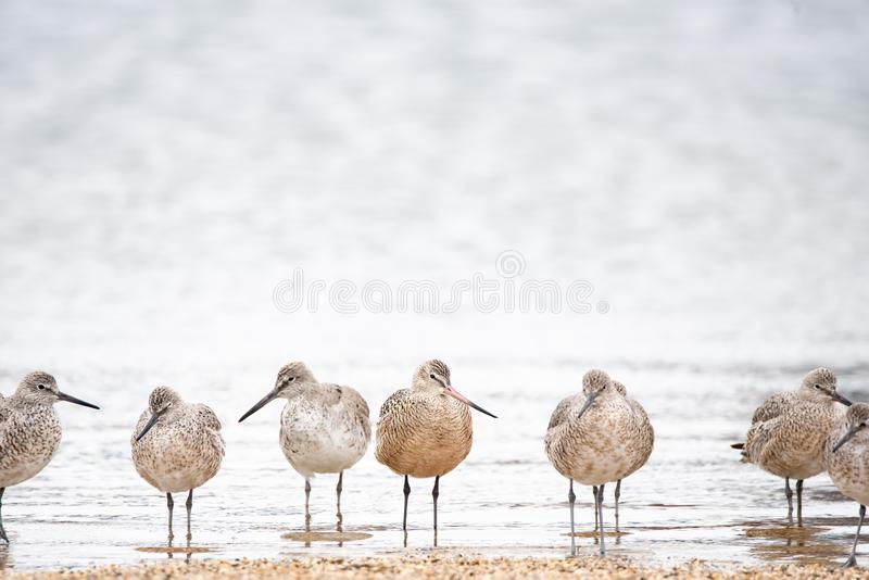 Willets and Marbled Godwit stock photo