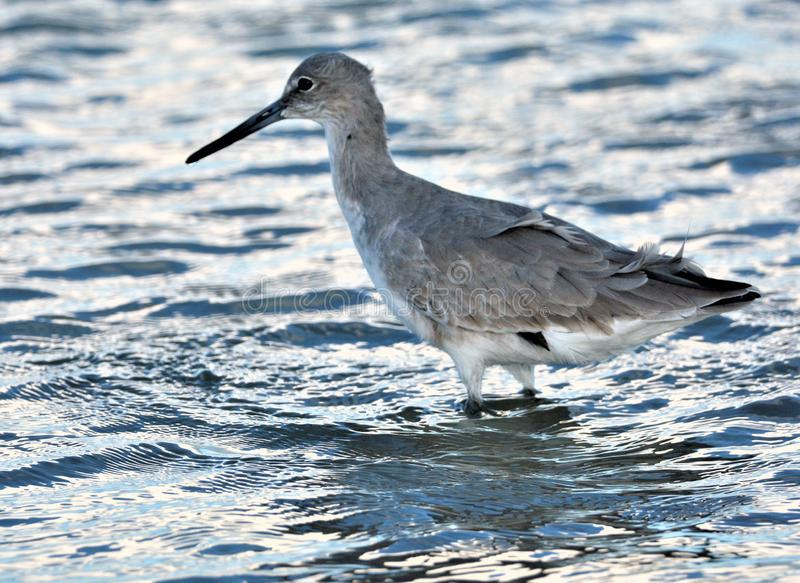 The Willets are tireless in their daily hunt for food amongst the waves royalty free stock photo
