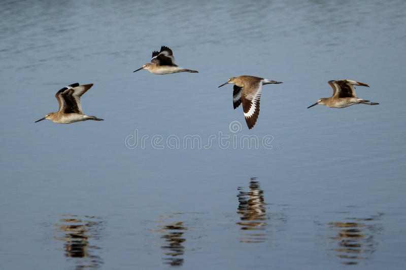 Willets (Tringa semipalmata) flying. Above water stock images