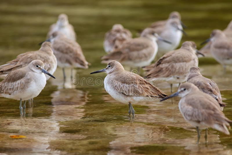 Willets (Tringa semipalmata). Standing in shallow water royalty free stock photography