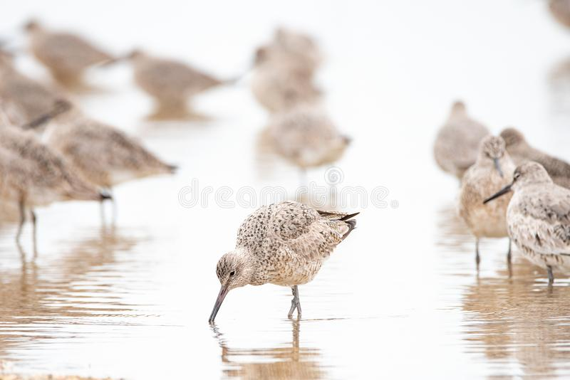 Willets royalty free stock photos
