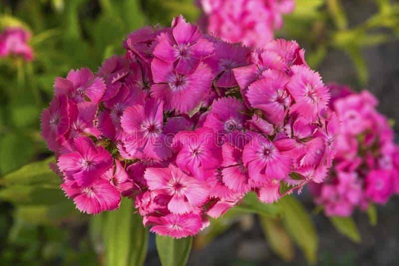 William Blooming doce cor-de-rosa no verão fotos de stock royalty free
