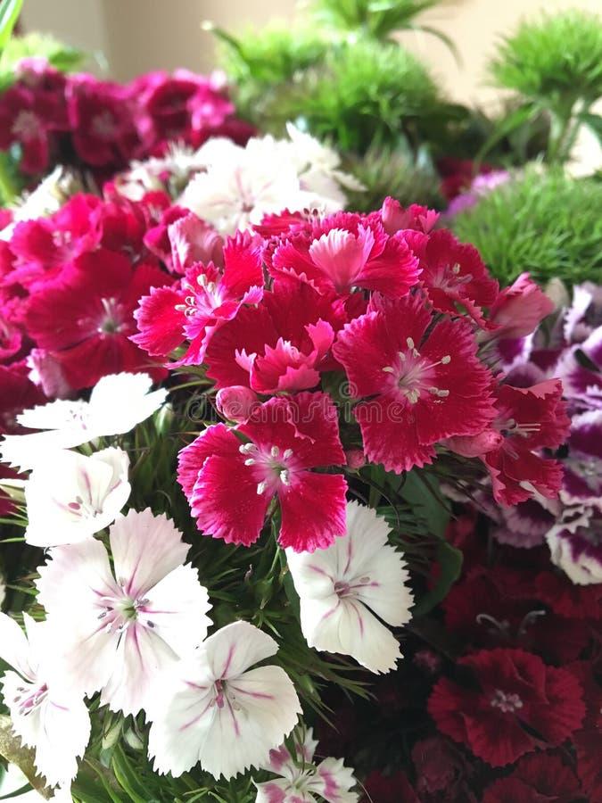 William Flower doce - barbatus do cravo-da-índia imagem de stock