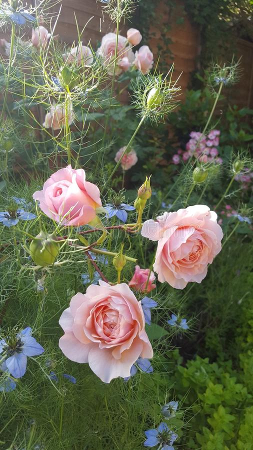 William Morris Summer Rose Garden fotografía de archivo libre de regalías