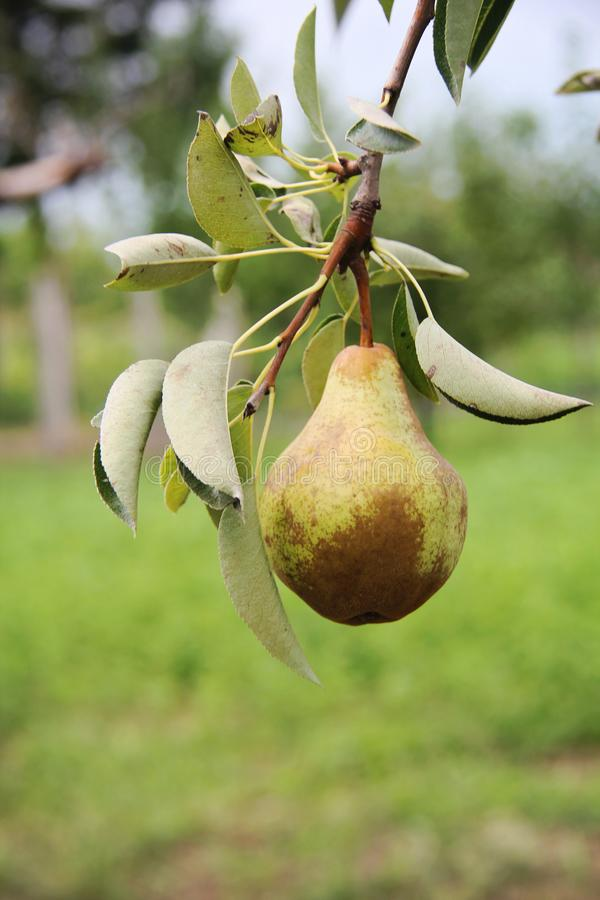 William pear on tree branch stock photos