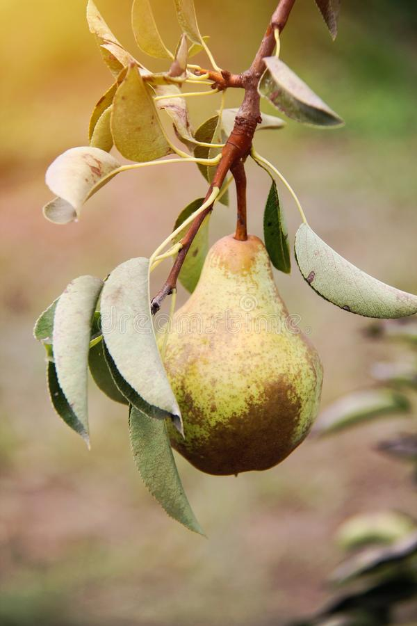 William pear on tree branch in sunshine. Close up royalty free stock photo