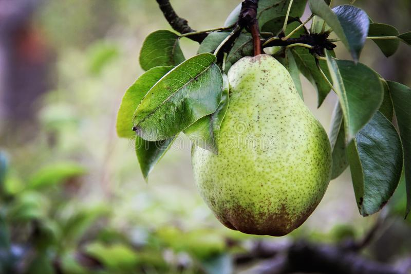 William pear on tree royalty free stock photos