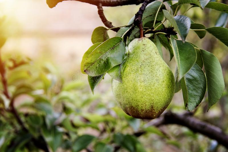 William pear on tree in the garden royalty free stock photos