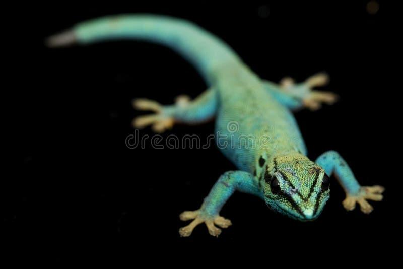 williamsi électrique de lycodactylus de geckos de jour bleu photos libres de droits