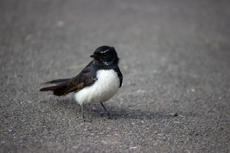 Willie pliszka, czarny i biały ptak na ulicie zdjęcia royalty free