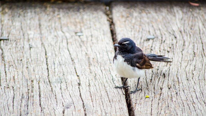 Willie pliszki Australia dziki ptak w czarny i biały upierzenia tyczeniu na drewnianym podłogowym bruku fotografia royalty free
