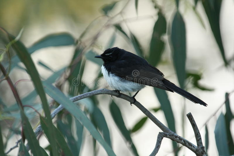 Willie Wagtail stock foto