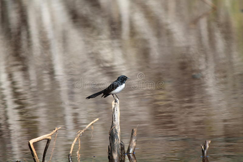 Willie Wagtail fotografia stock