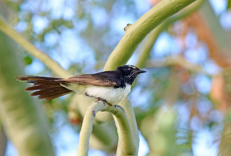 Willie Wagtail bird sitting on branch in tree. An Australian Willie Wagtail mother bird vigilantly watching over her babies in the nest on the branch below. This royalty free stock image