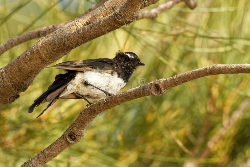 Willie-wagtail - Rhipidura leucophrys - black and white young australian bird, Australia, Tasmania.  royalty free stock images
