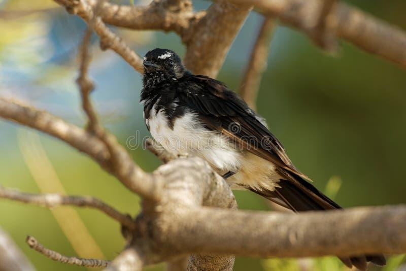 Willie-wagtail - Rhipidura leucophrys - black and white young australian bird, Australia, Tasmania.  royalty free stock image