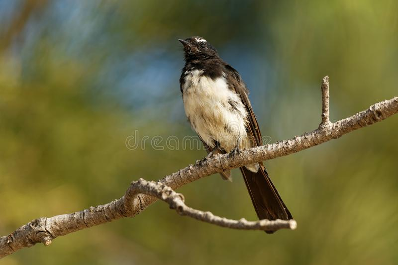 Willie-wagtail - Rhipidura leucophrys - black and white young australian bird, Australia, Tasmania.  stock photography