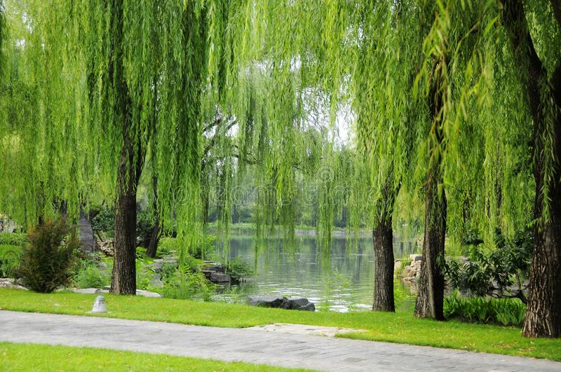 Download Willow stock image. Image of lawn, footpath, landscape - 25899105